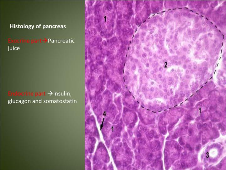 Histology of pancreas