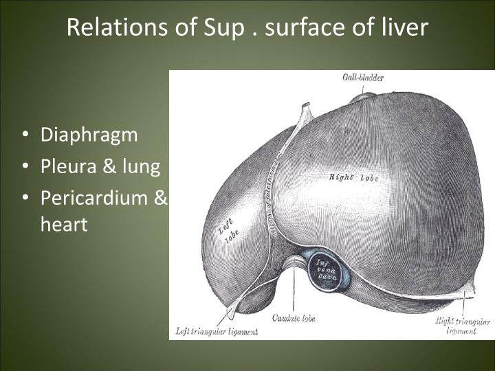 Relations of Sup . surface of liver
