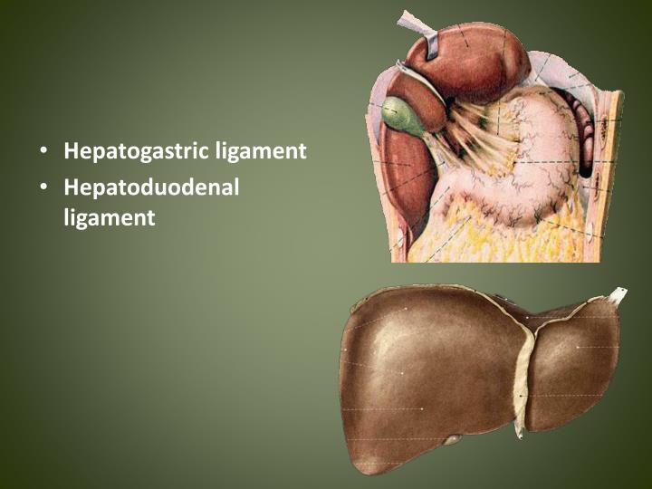 Hepatogastric ligament