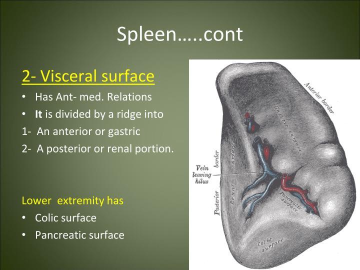 Spleen…..cont