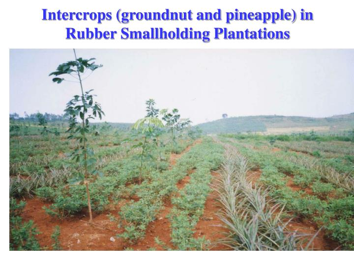 Intercrops (groundnut and pineapple) in Rubber Smallholding Plantations