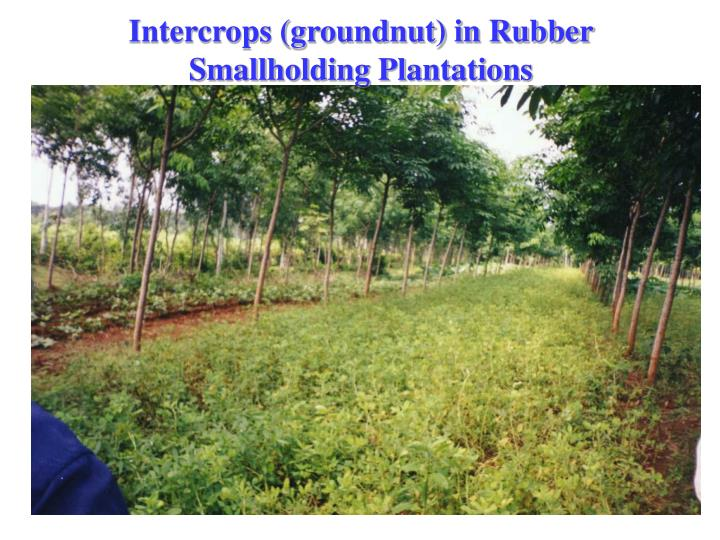 Intercrops (groundnut) in Rubber Smallholding Plantations