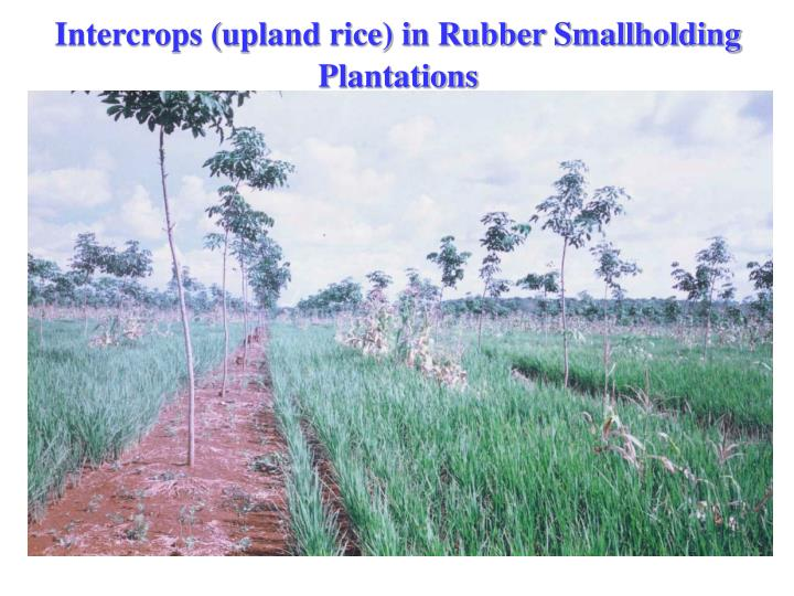 Intercrops (upland rice) in Rubber Smallholding Plantations