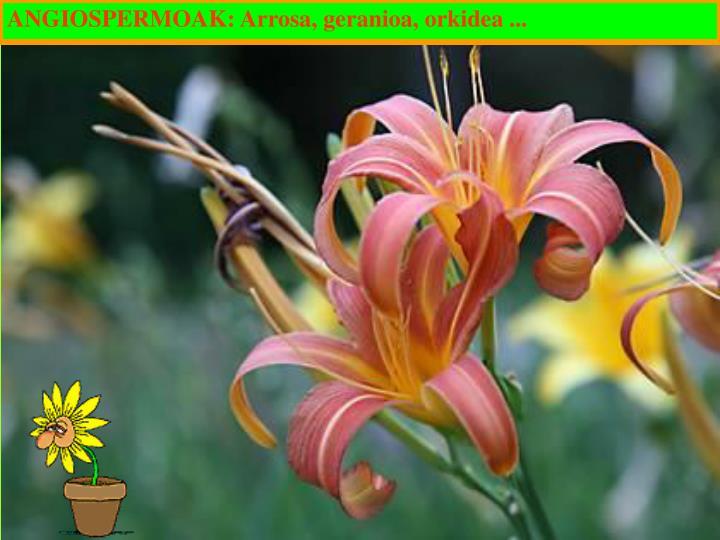 ANGIOSPERMOAK: Arrosa, geranioa, orkidea ...