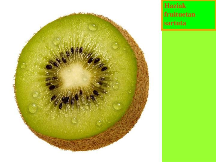 Haziak fruituetan sartuta