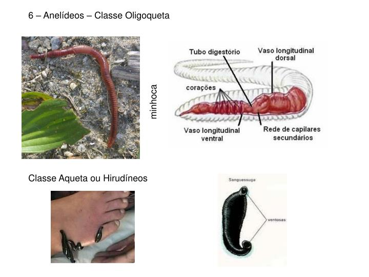 6 – Anelídeos – Classe Oligoqueta