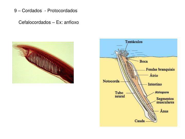 9 – Cordados  - Protocordados