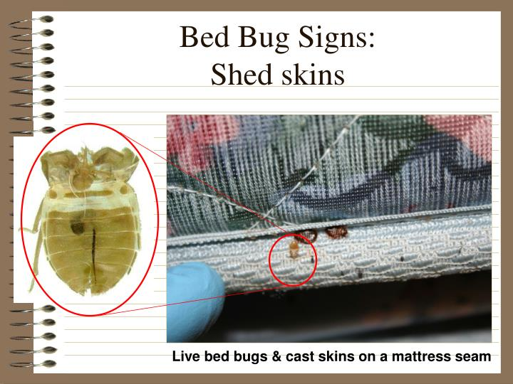Bed bug signs shed skins