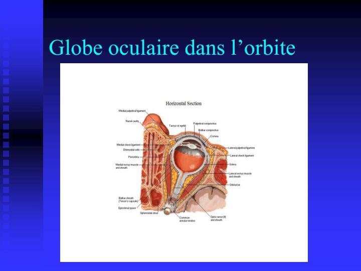 Globe oculaire dans l'orbite