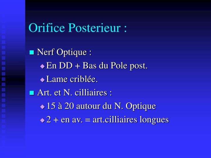Orifice Posterieur :