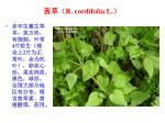 r cordifolia l