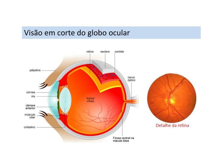 Visão em corte do globo ocular
