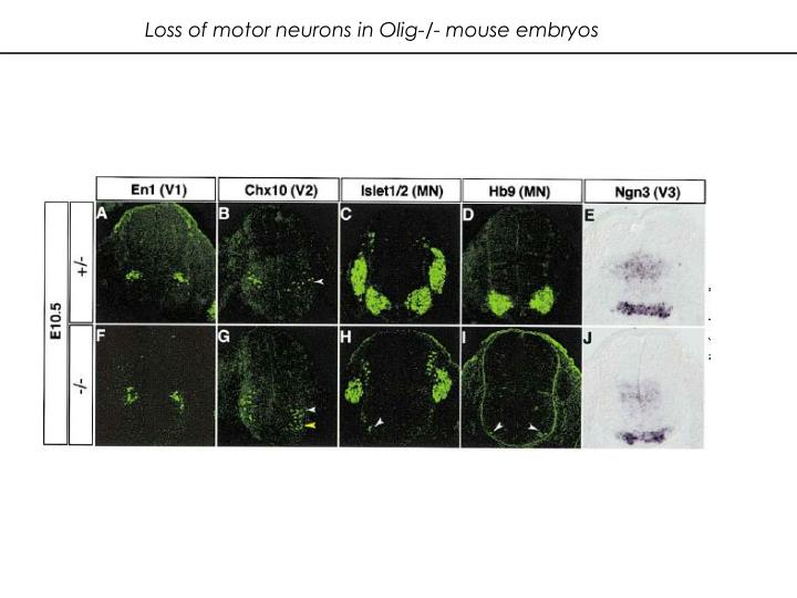 Loss of motor neurons in Olig-/- mouse embryos
