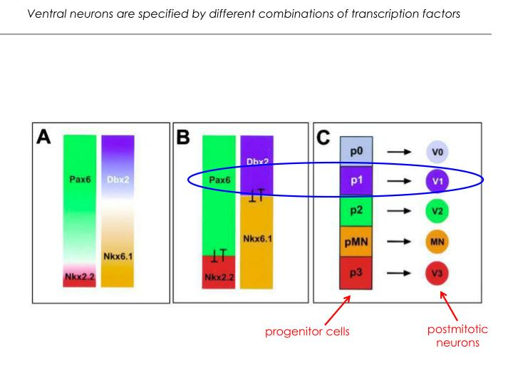 Ventral neurons are specified by different combinations of transcription factors
