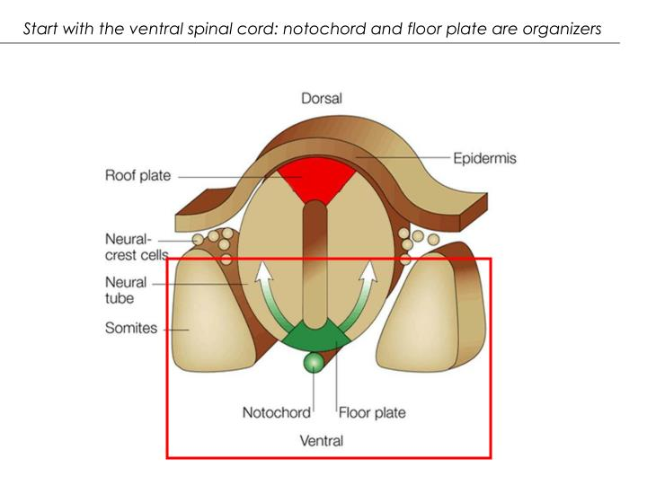 Start with the ventral spinal cord: notochord and floor plate are organizers