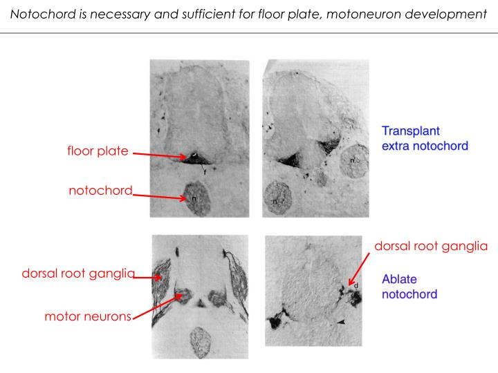 Notochord is necessary and sufficient for floor plate, motoneuron development