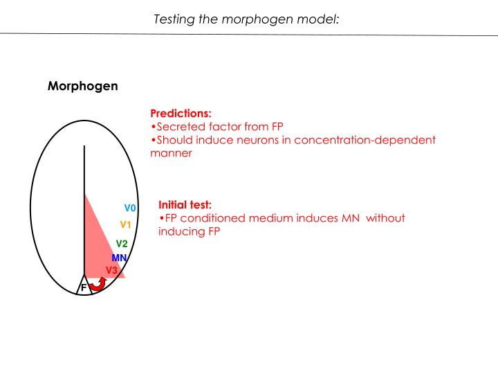 Testing the morphogen model: