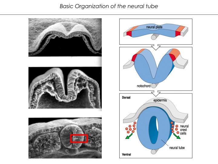 Basic Organization of the neural tube