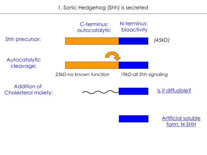 1. Sonic Hedgehog (Shh) is secreted