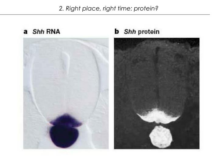 2. Right place, right time: protein?