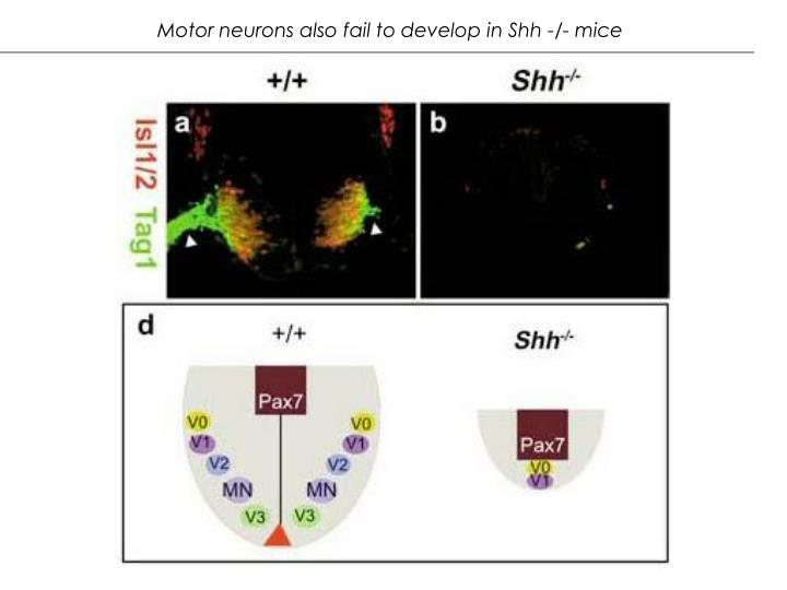 Motor neurons also fail to develop in Shh -/- mice