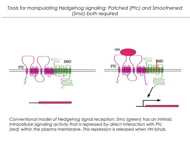 Tools for manipulating Hedgehog signaling: Patched (Ptc) and Smoothened (Smo) both required
