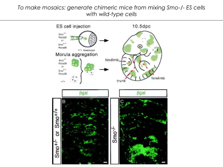 To make mosaics: generate chimeric mice from mixing Smo-/- ES cells with wild-type cells