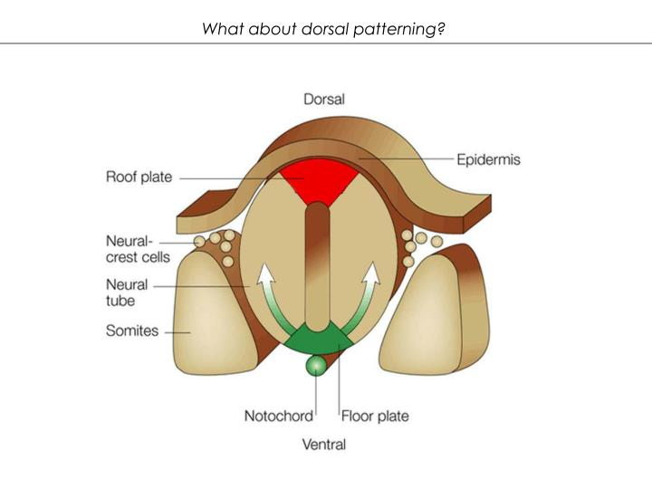 What about dorsal patterning?