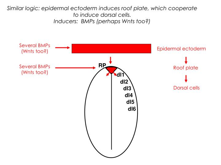 Similar logic: epidermal ectoderm induces roof plate, which cooperate to induce dorsal cells.