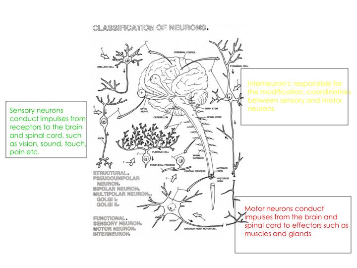 Interneuron's: responsible for the modification, coordination, between sensory and motor neurons.