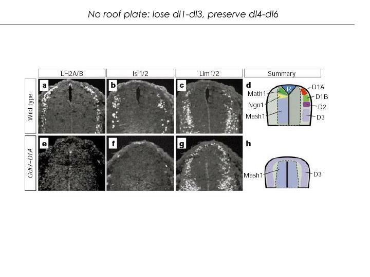 No roof plate: lose dl1-dl3, preserve dl4-dl6