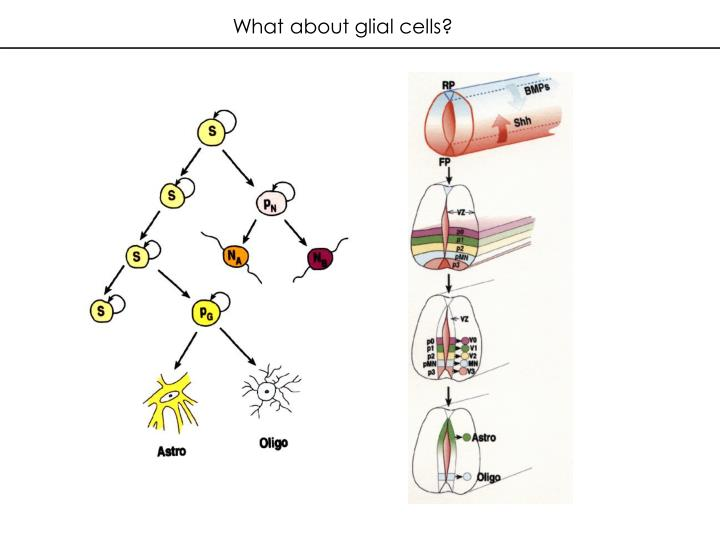 What about glial cells?