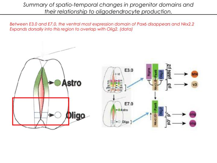 Summary of spatio-temporal changes in progenitor domains and their relationship to oligodendrocyte production.