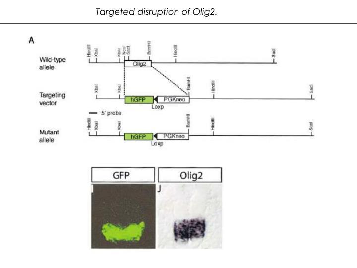 Targeted disruption of Olig2.