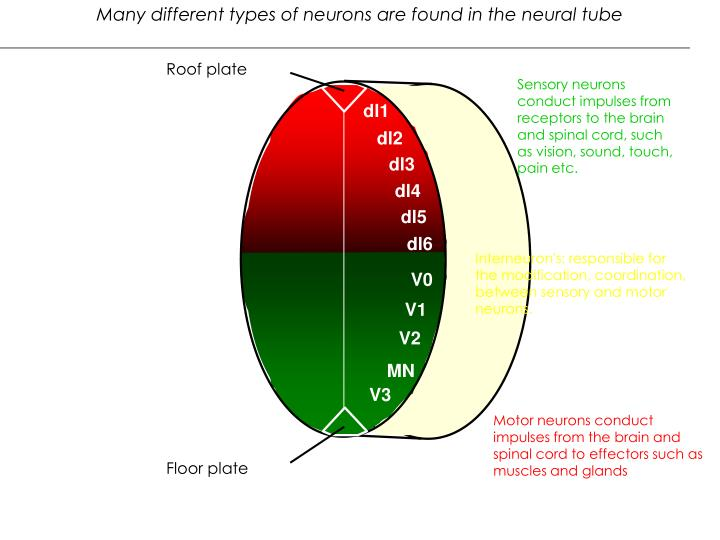 Many different types of neurons are found in the neural tube