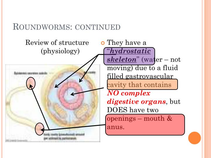 Roundworms continued
