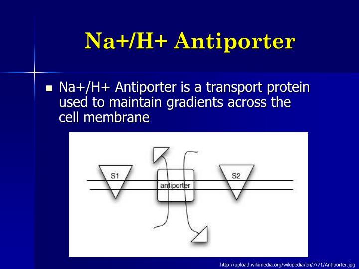 Na+/H+ Antiporter