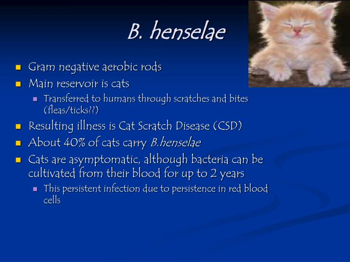B. henselae