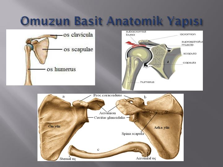 Omuzun Basit Anatomik Yapısı