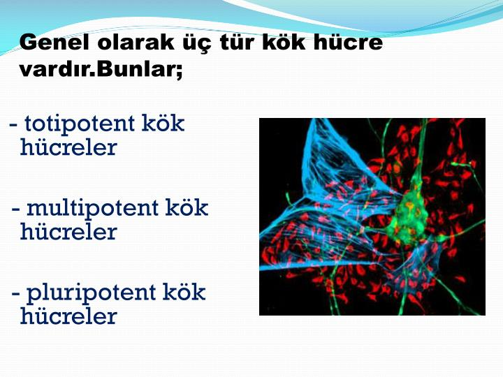 Genel olarak üç tür kök hücre vardır.Bunlar;