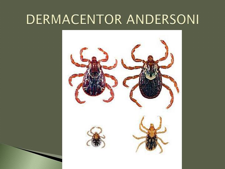 DERMACENTOR ANDERSONI
