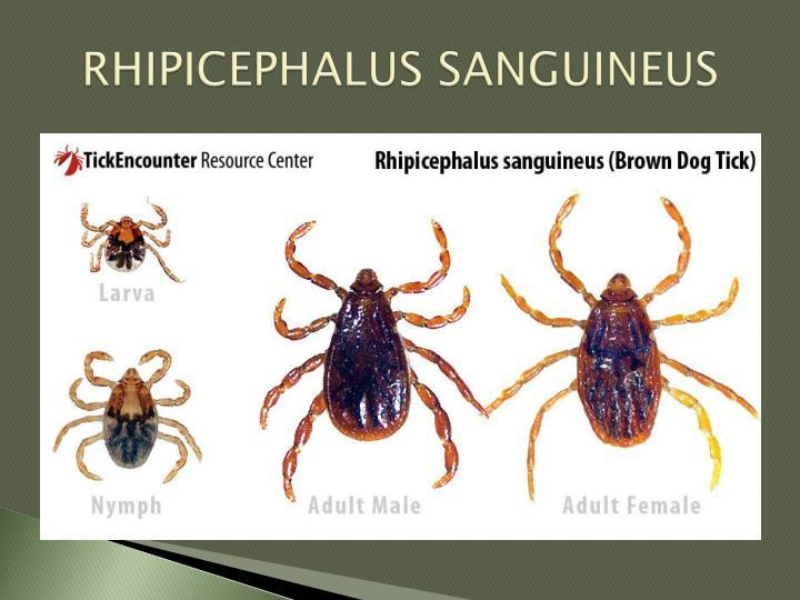 RHIPICEPHALUS SANGUINEUS