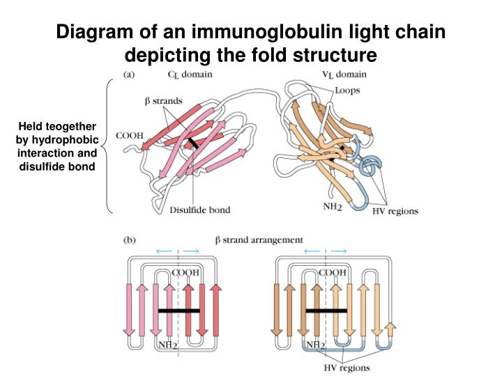 Diagram of an immunoglobulin light chain depicting the fold structure