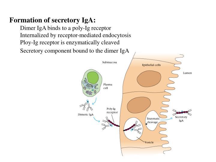 Formation of secretory IgA: