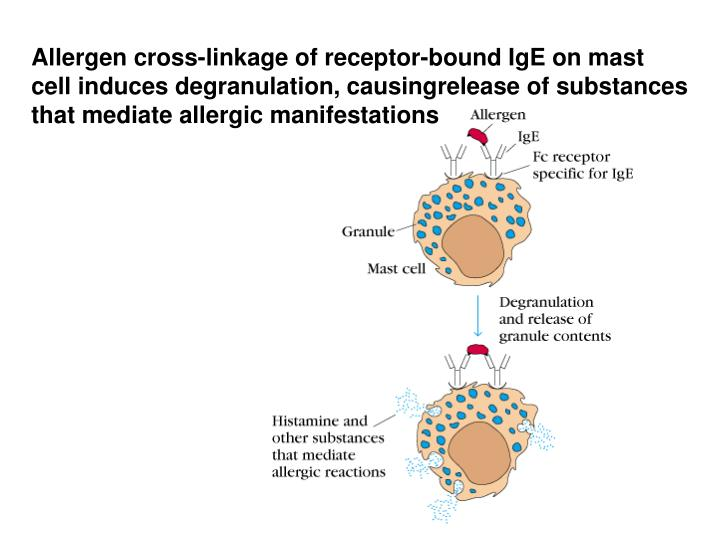 Allergen cross-linkage of receptor-bound IgE on mast cell induces degranulation, causingrelease of substances that mediate allergic manifestations