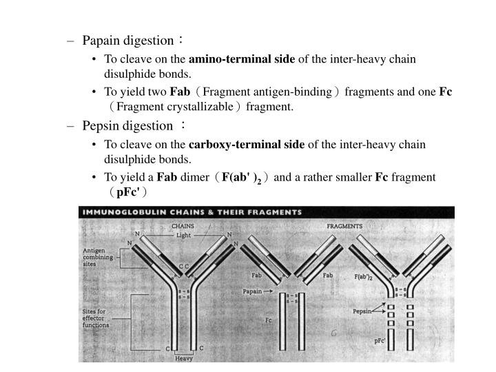 Papain digestion