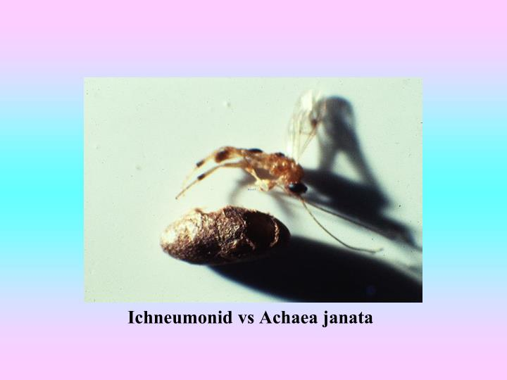Ichneumonid vs Achaea janata