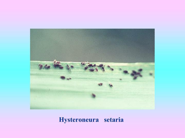 Hysteroneura   setaria