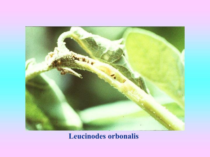 Leucinodes orbonalis