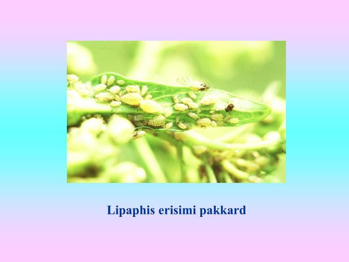 Lipaphis erisimi pakkard